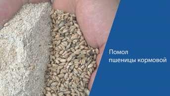 Помол пшеницы кормовой